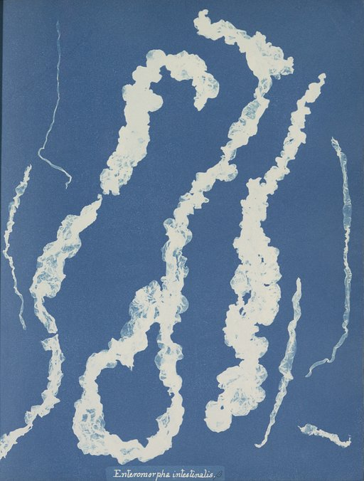 Early Algae Cyanotype Prints by Anna Atkins