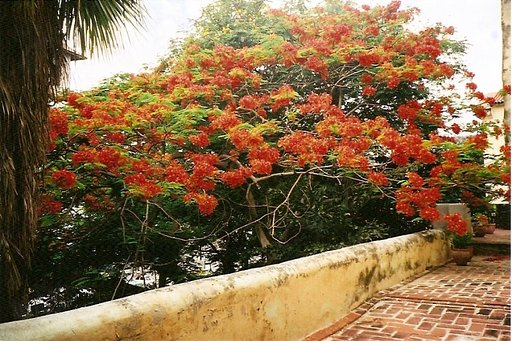 The Flaming Trees of Cuba