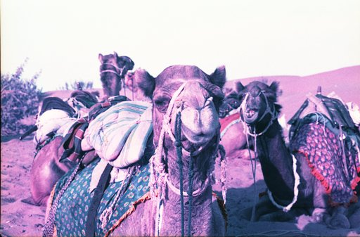Tales from the Trip: Purple Camel Smiles