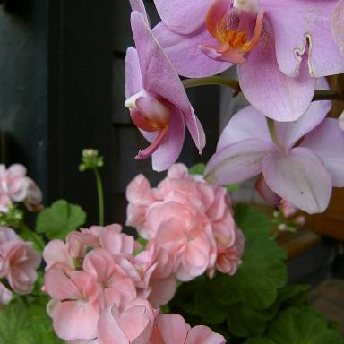 orchid-and-pelargonium