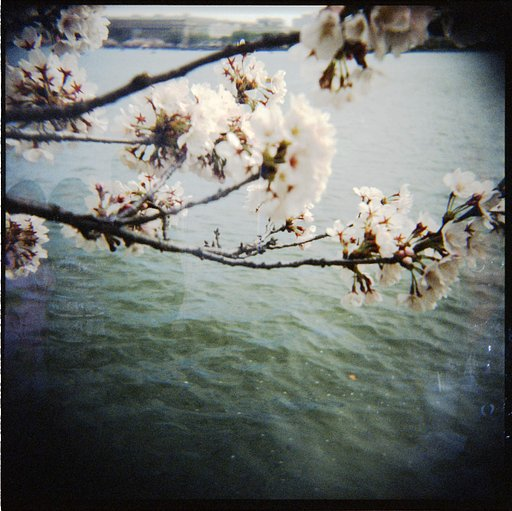 The Cherry Blossom Festival (Washington D.C.)
