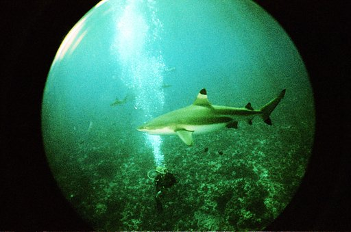 Diving with Sharks at Miri-Miri