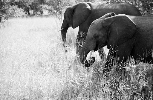 Elephant Encounters -  The Chobe Reserve!