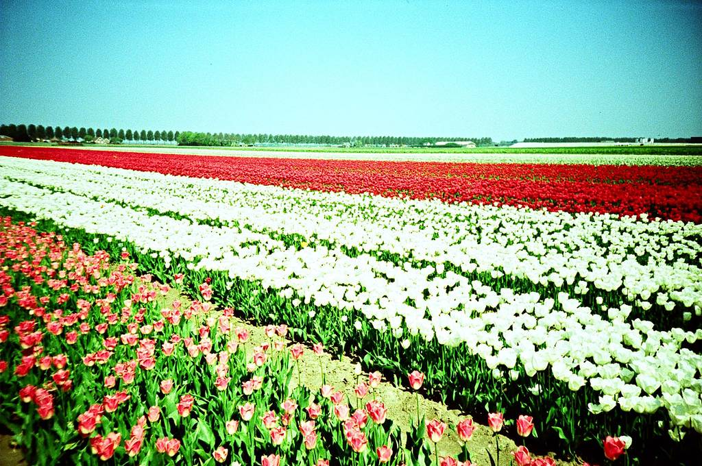 Twosday Tuesday: Fields of Tulips
