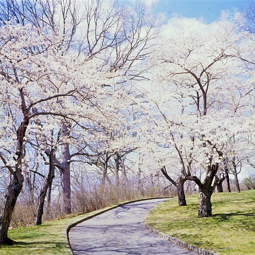 Dreaming of Spring: Cherry Blossoms in High Park