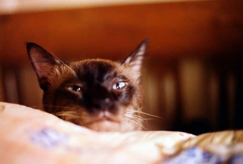 Analogue Adventures with Momo the Siamese Cat!