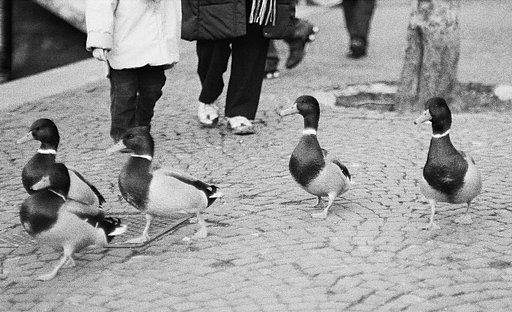 A Salute to the Masters: Ducks (A Tribute to Henri Cartier-Bresson)